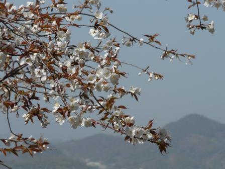松山総合公園 山桜