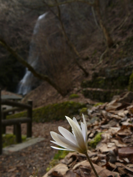 白猪の滝 ユキワリイチゲ 3