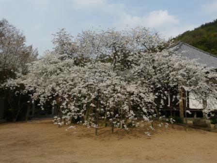 大宝寺のうば桜 3月19日 1