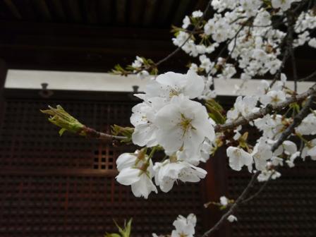 大宝寺のうば桜 3月19日 3