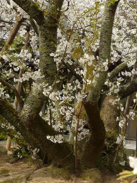 大宝寺のうば桜 3月19日 4