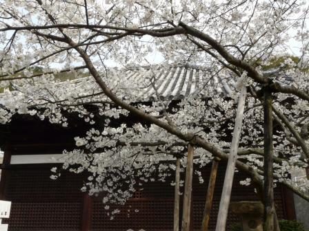 大宝寺のうば桜 3月19日 2