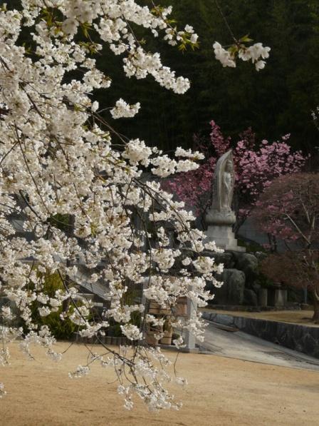 大宝寺のうば桜 3月19日 5