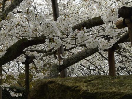 大宝寺のうば桜 3月19日 6
