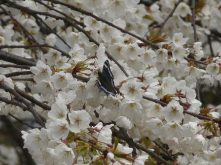 大宝寺のうば桜 3月19日 7