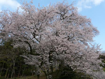 金龍桜 1