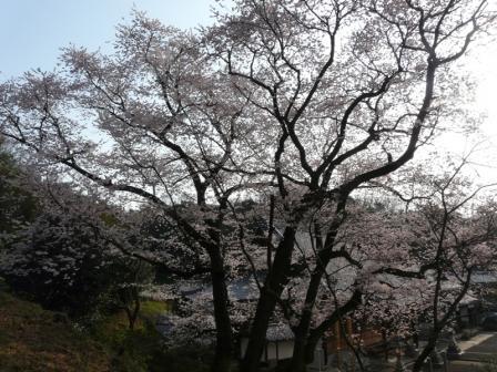 金龍桜 2