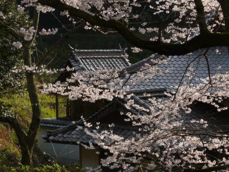 金龍桜 4