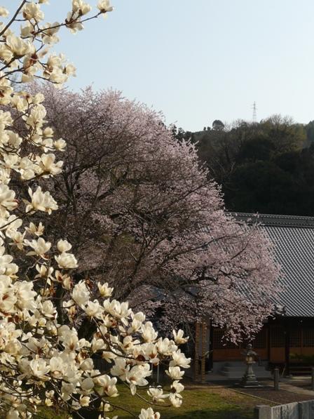 金龍桜 5
