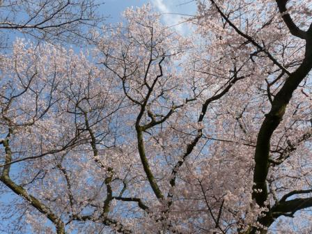 金龍桜 3