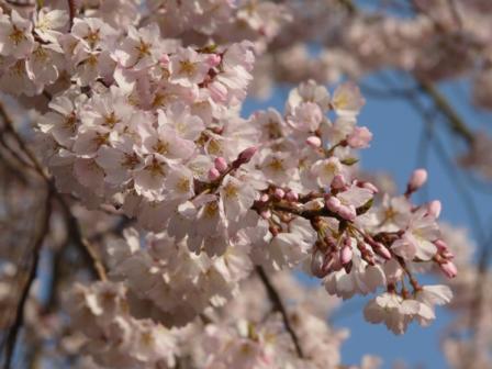 金龍桜 6