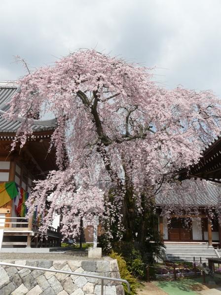 無量寺 しだれ桜 2