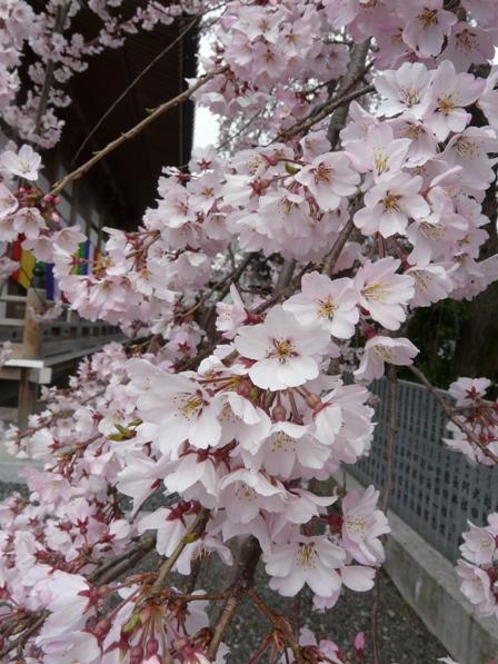 無量寺 しだれ桜 4