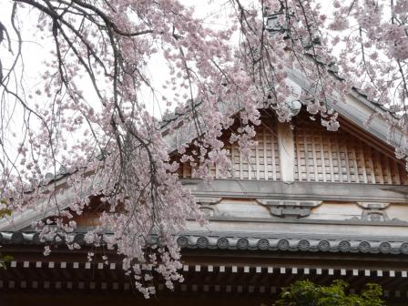 無量寺 しだれ桜 6