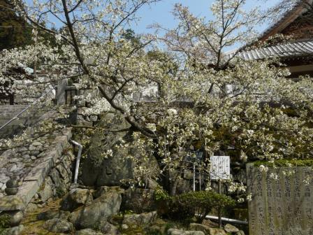 満願寺 しぐれ桜 1