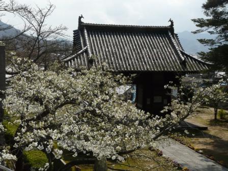 満願寺 しぐれ桜 5