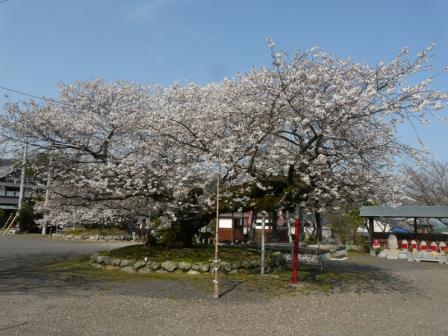 実報寺 一樹桜 2