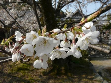 実報寺 一樹桜 4
