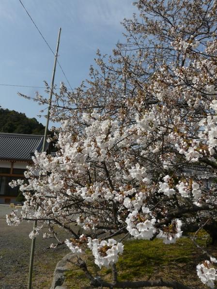 実報寺 一樹桜 3