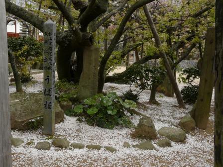 大宝寺のうば桜 3月25日 2
