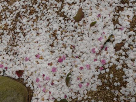 大宝寺のうば桜 3月25日 3