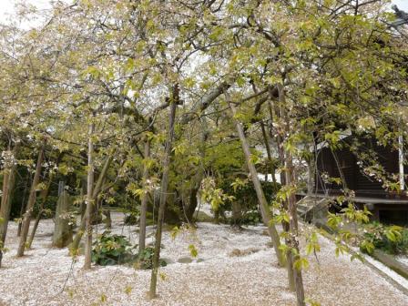 大宝寺のうば桜 3月25日 1