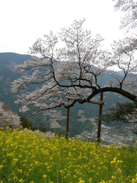 ひょうたん桜 2