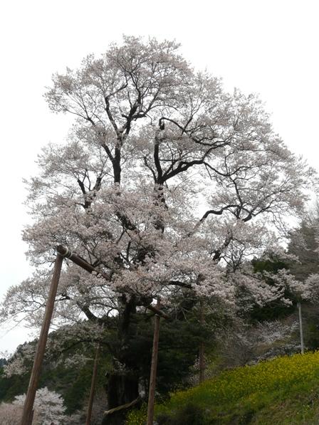 ひょうたん桜 4