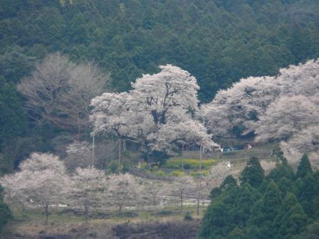 国道439号線から見る ひょうたん桜 3