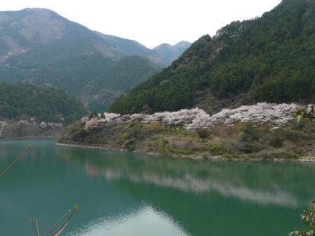 大渡ダム・茶霧湖 の桜