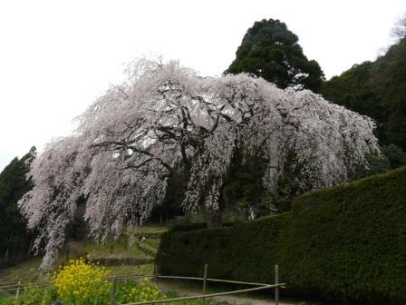 中越家のしだれ桜 2