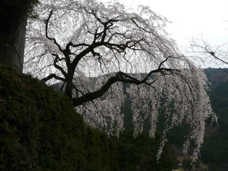中越家のしだれ桜 3