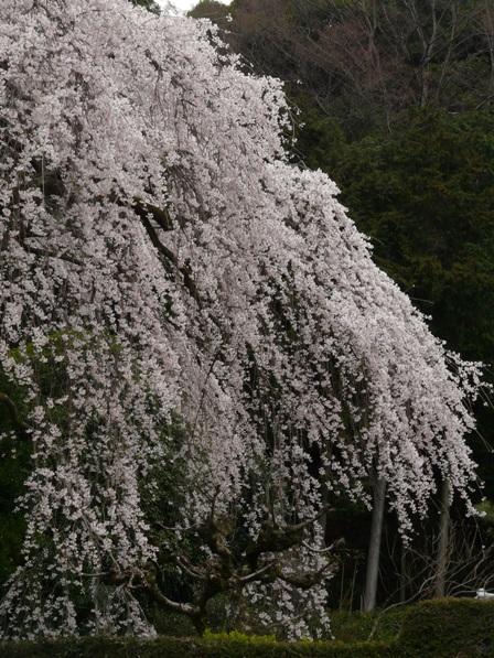 中越家のしだれ桜 6