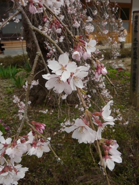 法蓮寺 しだれ桜 4