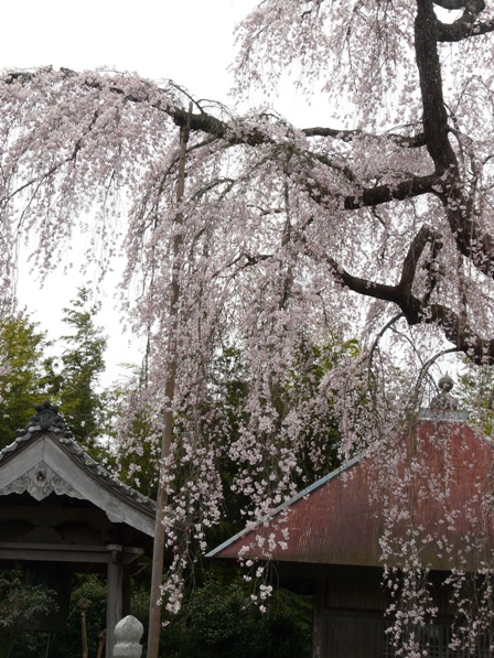 法蓮寺 しだれ桜 2