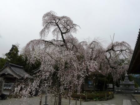 法蓮寺 しだれ桜 3