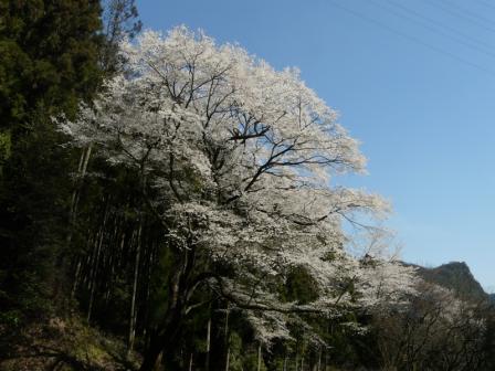 源太桜 3