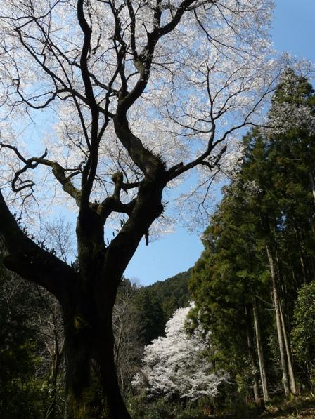 源太桜 1