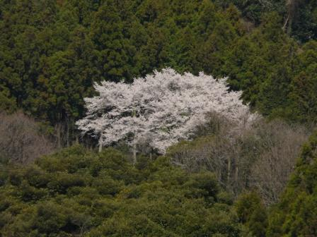 国道11号線から見る 源太桜 2