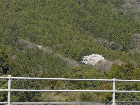 国道11号線から見る 源太桜 1