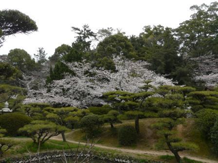道後公園の桜 1