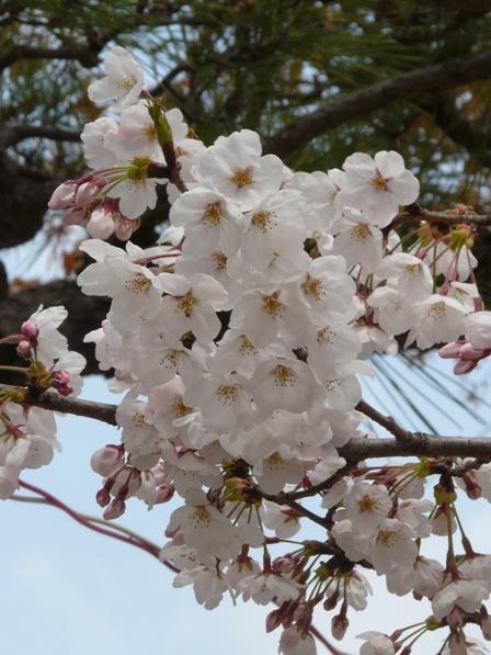 道後公園の桜 2