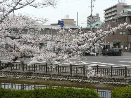 桜と坊っちゃん列車 1