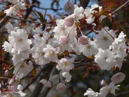 西法寺 西法寺桜