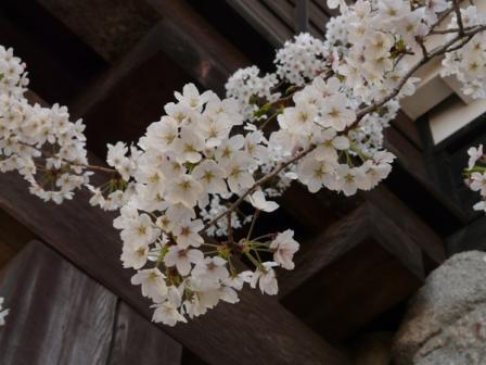 松山城 太鼓門と桜 2