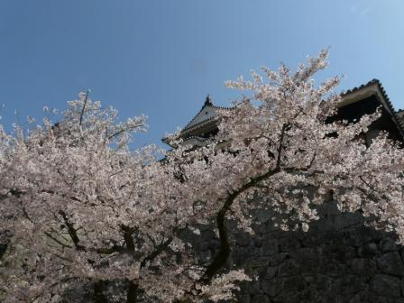 松山城 天守閣と桜 3