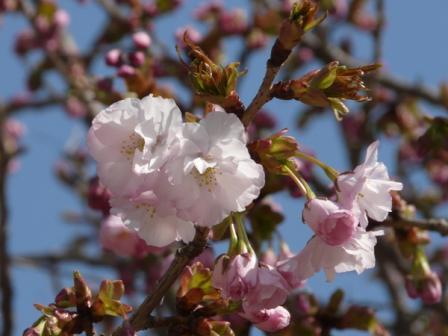 松山城 八重桜