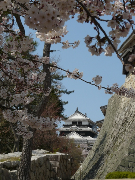 松山城 天守閣と石垣と桜