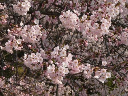 開山公園 桜