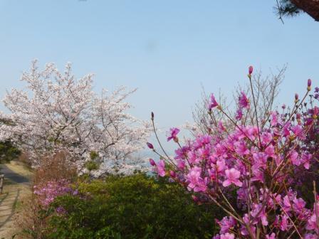 開山公園 桜とコバノミツバツツジ